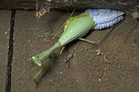 Miomantis caffra laying egg case.jpg
