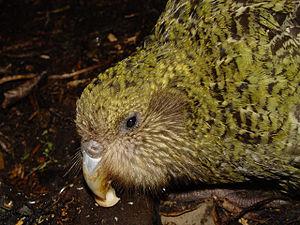 Kakapo Pura on Codfish Island.