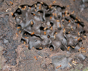 English: Termites in a mound, Perinet, Madagascar