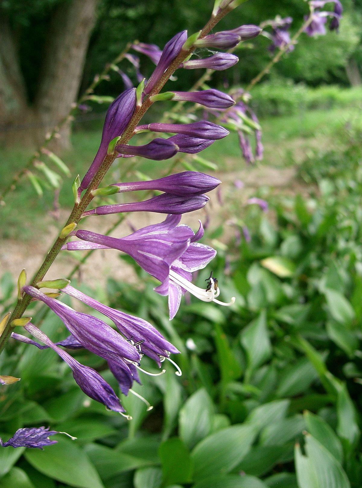 Hosta longipes  Wikispecies