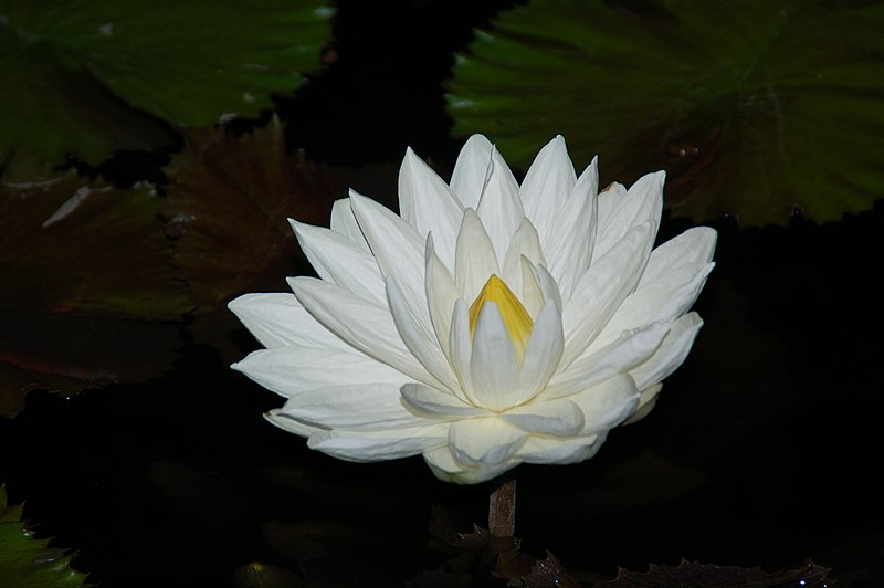 Night-blooming water lilies (Nymphaea lotus)