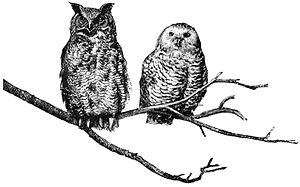 Great horned and Snowdon owls