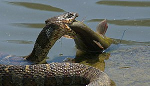A northern water snake (Nerodia sipedon) caugh...