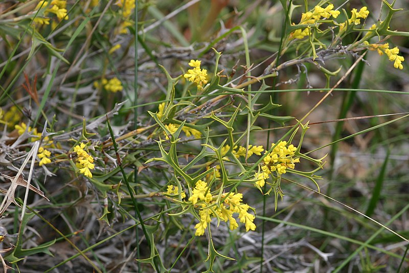File:Synaphea spinulosa subsp. spinulosa.JPG