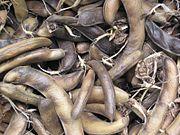 Mature field bean pods