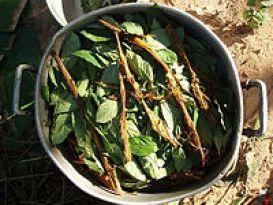 原料となるカーピの皮とサイコトリア・ヴィリディスの葉。