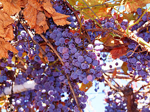 Vitis labrucsa grape Concord
