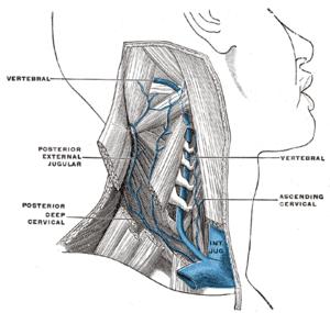 The vertebral vein.