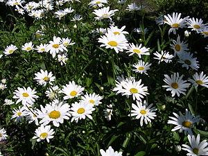 Oxeye daisy-oliv