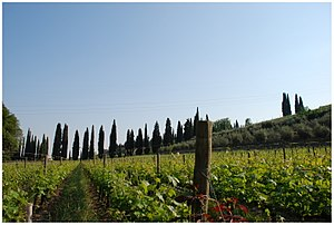 A Vineyard in the Italian wine region of Valpo...