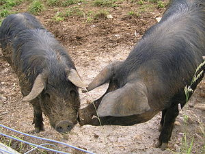 Français : cochon
