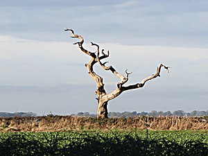 English: Dead Ash Tree, Lings Hill. A stark re...