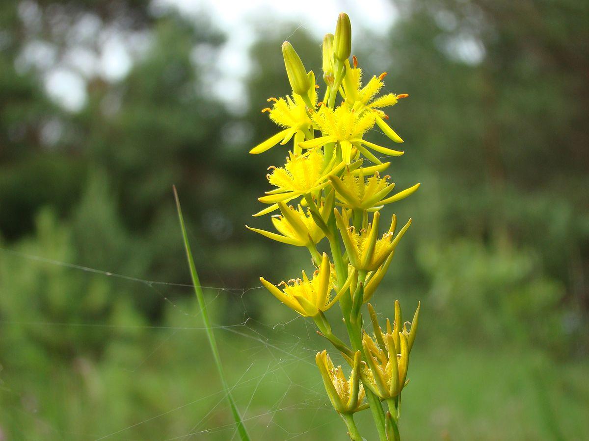 Moorlilie  Wikipedia