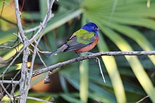 painted bunting wikipedia
