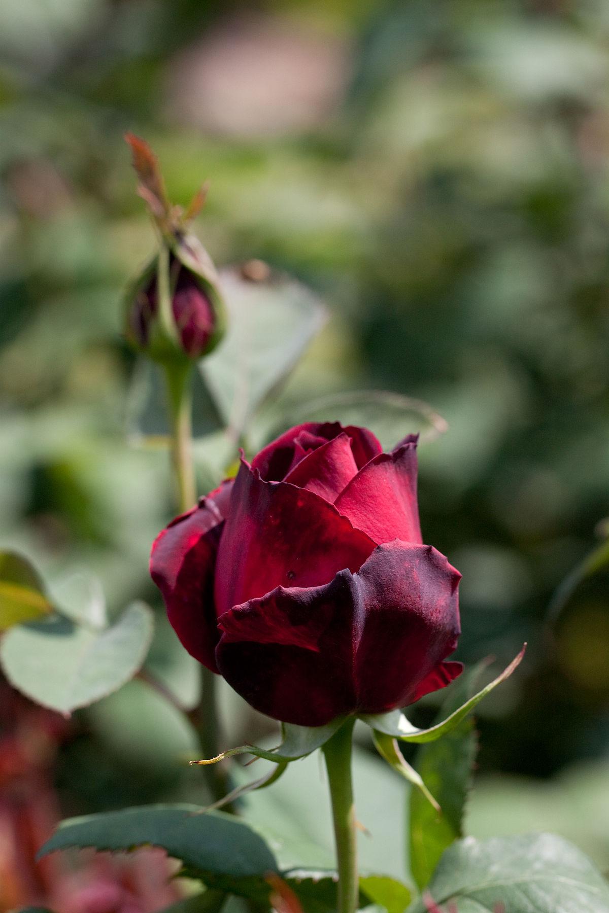Rosa Oklahoma  Wikipedia