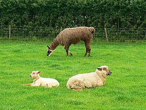 Sheep and llama, Roves Farm, Sevenhampton Rove...