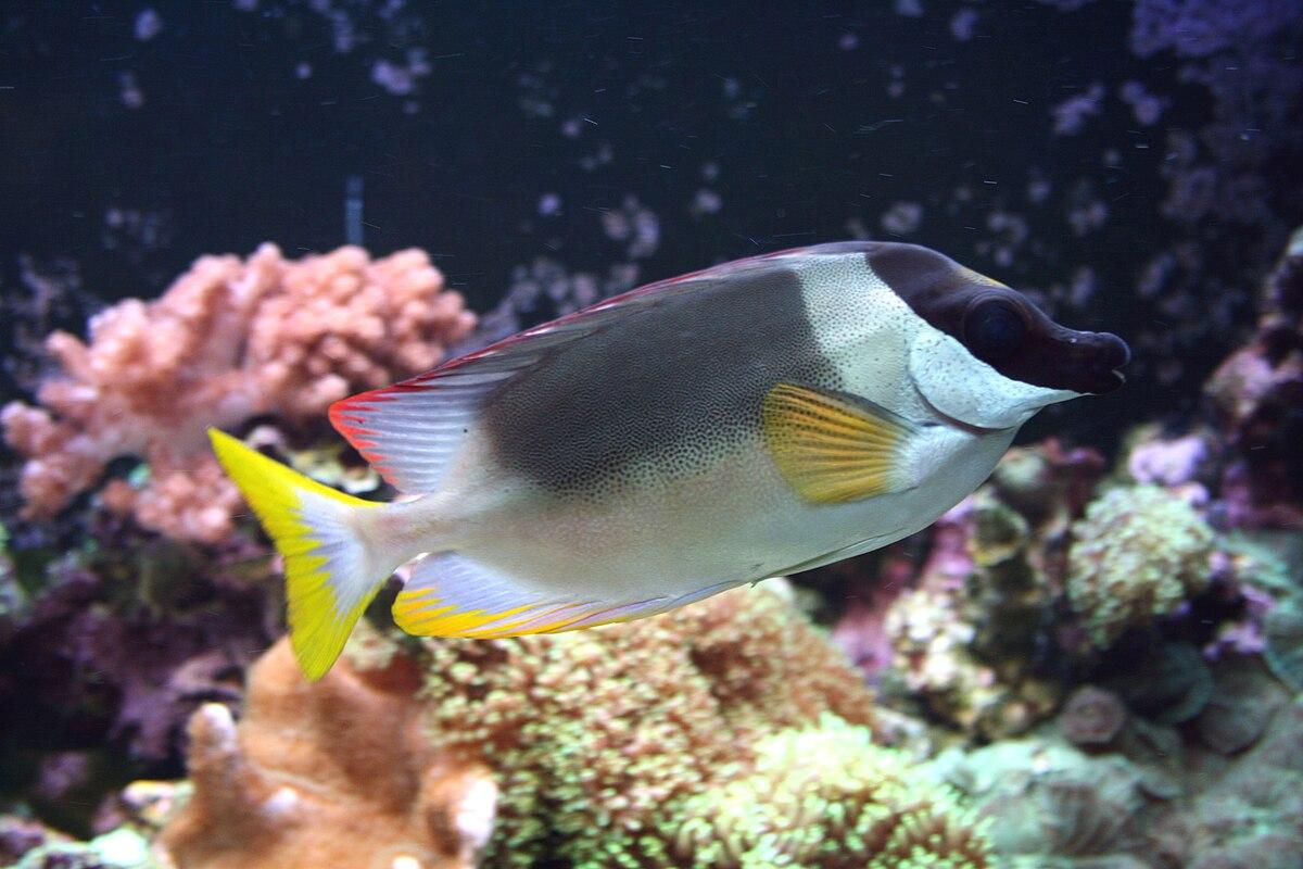 Magnificent rabbitfish  Wikipedia
