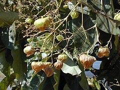 Pucuk jati dan buahnya
