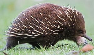 Short-beaked Echidna (Tachyglossus aculeatus),...