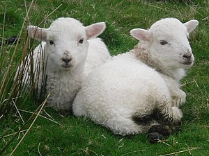 English: Two lambs