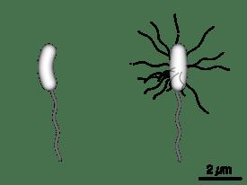 Vibrio cholerae  Wikipedia