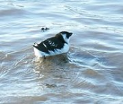 Little Auk in winter plumage