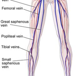 Veins In The Foot Diagram Wiring Trailer Brakes Femoral Vein Wikipedia Blausen 0609 Legveins Png