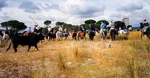 Festivities of Toro de la Vega (photo of 1993)