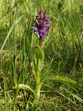 Brede orchis  Wikipedia