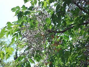 Melia azedarach: foglie, infiorescenze e frutti