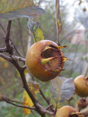Mespilus germanica Mispel vrucht