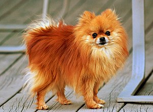An orange-sable Pomeranian named Coco.