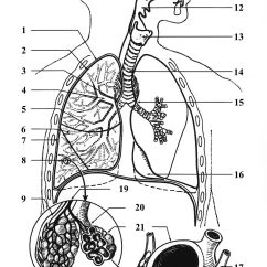 Respiratory System Blank Diagram To Label Residential Home Wiring Diagrams Larynx  Wikipédia