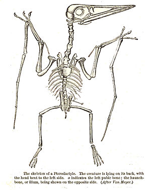 Skeleton of a Pterodactyl