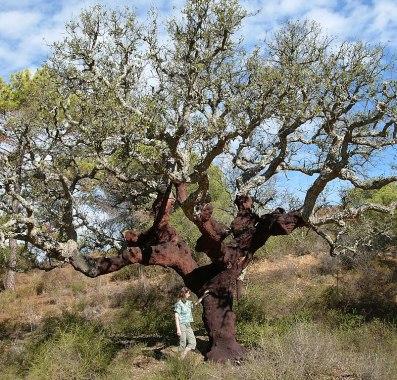 Quercus suber algarve