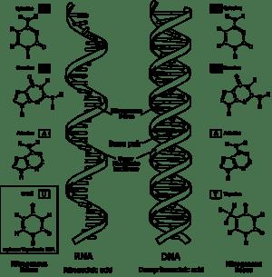 РНК-свят — Уикипедия