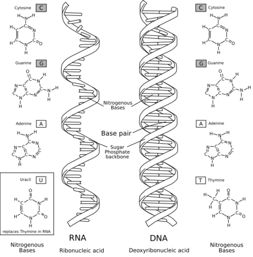 An Introduction to Molecular Biology/RNA:The ribonucleic