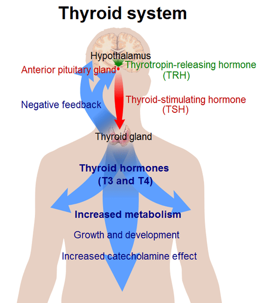 File:Thyroid system.png