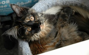 Dark Tortoiseshell female Maine Coon cat