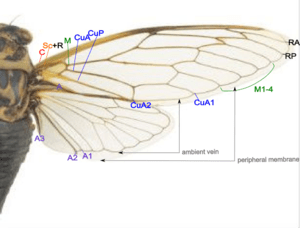 English: The wing structure and venation of ci...
