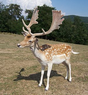 Male fallow deer (Dama dama) in Vallée des dai...