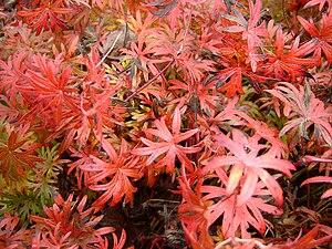 English: Geranium sanguineum in autumn. Polski...