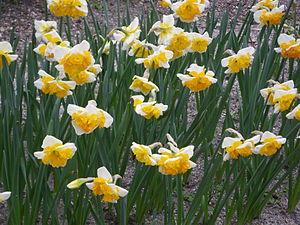 Español: Narcissus 'Love Call', div. 11. Real ...