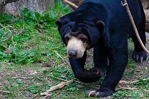 Beruang madu  Wikipedia bahasa Indonesia ensiklopedia bebas