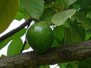 Persea americana English: Avocado Deutsch: Avocado