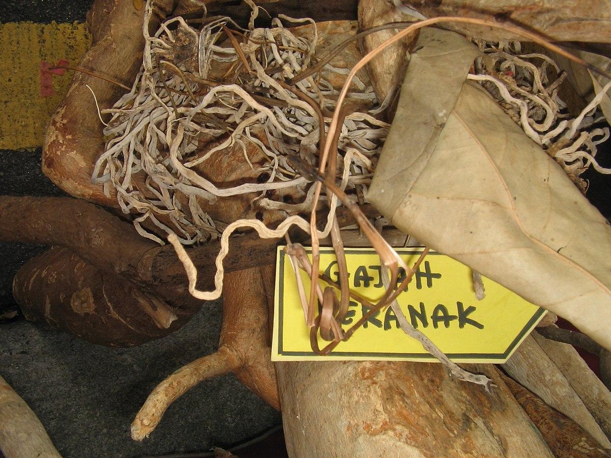 Pokok Gajah Beranak  Wikipedia Bahasa Melayu