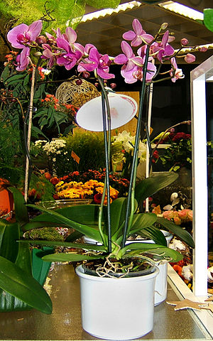 Orchid plant (Phalaenopsis) in flower shop in ...