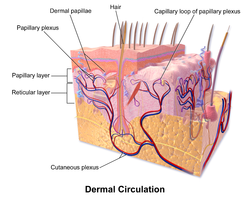 dermis layer diagram battery wiring for 48 volt golf cart wikipedia illustration of dermal circulation and layers