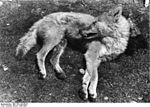 Bundesarchiv Bild 135-S-03-20-37, Tibetexpedition, Erlegter Wolf.jpg