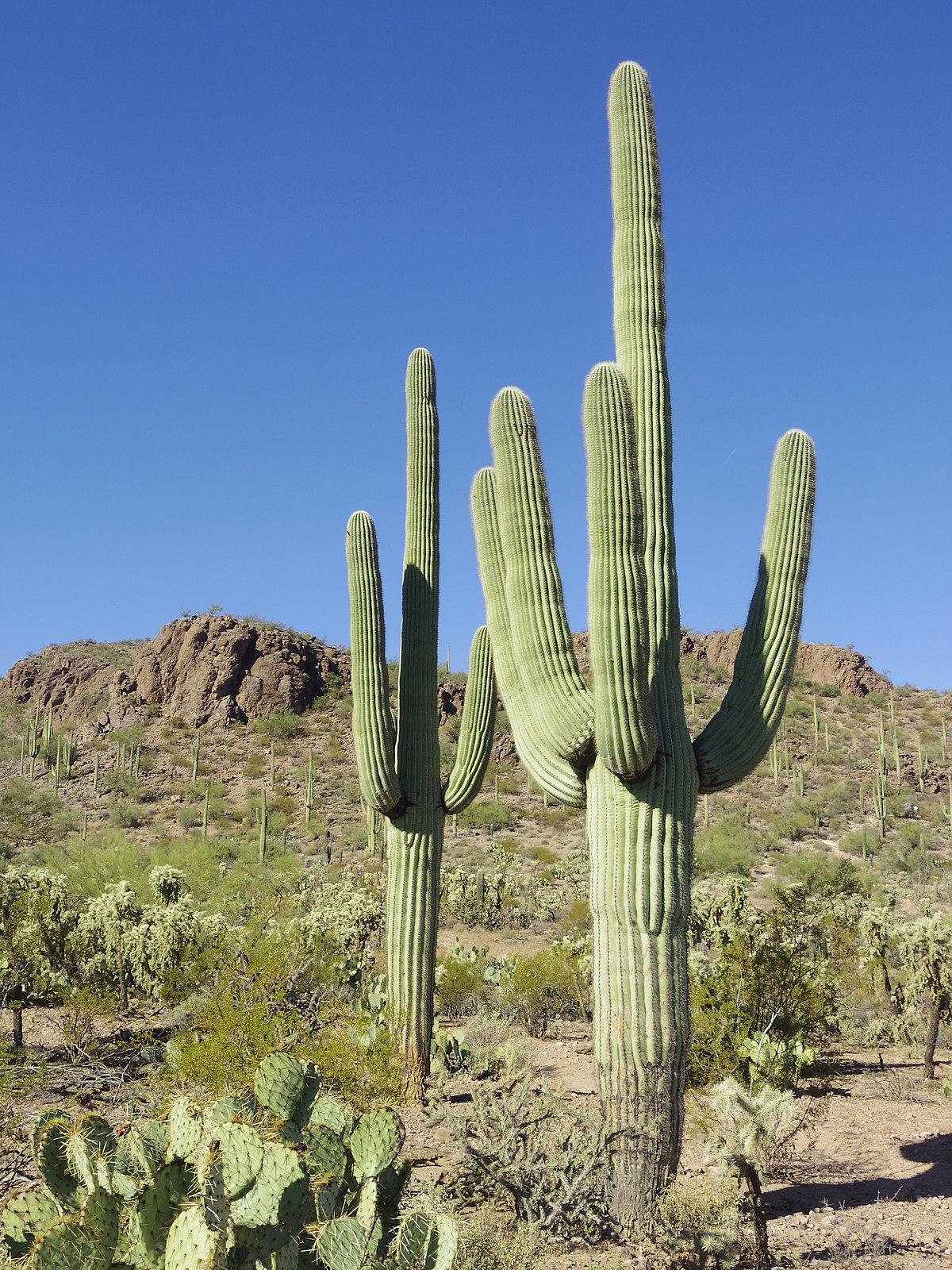Saguaro  Wikipedia